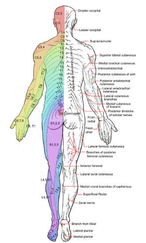 Het menselijk zenuwstelsel